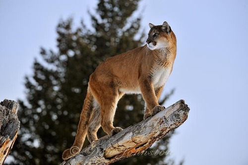 animals-animals-animals:  Cougar (by Don Johnston)