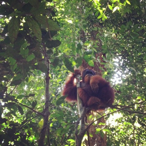 whitneywolfe:  Orangutan! (Taken with Instagram at Gunung leuser national park, bukit lawang, sumatra, indonesia)