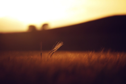barley vintage by KG Photographics