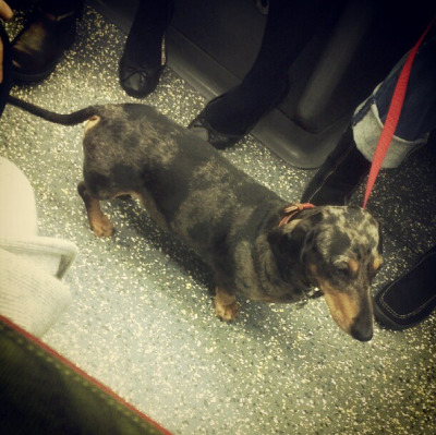 dogsontrains:  What a glorious dappled dachshund! Seen by @philip_dt on the southbound Northern Line, London Underground - October 2012