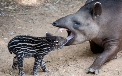 A four-day-old male tapir calf interacts with his mother Passiflora in an outdoor enclosure at Ramat Gan Safari near Tel Aviv, Israel.  Picture: Ariel Schalit/AP