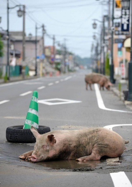 Yasusuke Ota: The Abandoned Animals of Fukushima, is a 'pop-up' exhibition by Huis Marseille. You can visit it until October 14 at Atelier 408 at Herengracht 408 in Amsterdam. (via Yasusuke Ota: The Abandoned Animals of Fukushima - we make money not art)
