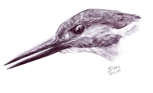 dfalcao-art:  Sketch I did a while ago of a kingfisher - Alcedo atthis - using a BIC.