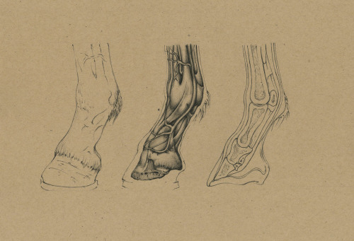 jimmysketchbook:  Work In Progress… Anatomical study of the extremities of a horse.