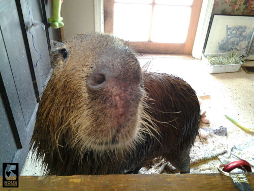 This is Dobby(e) Winnick showing how cute a capybara can be even when they are doing something bad, in this case getting mud all over everything.