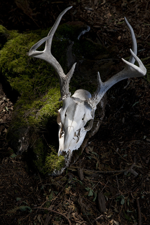 home-of-amazons:  Deer Skull