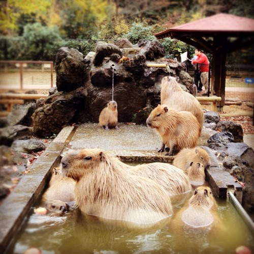 capybara spa in japan  best capybara spa ever.