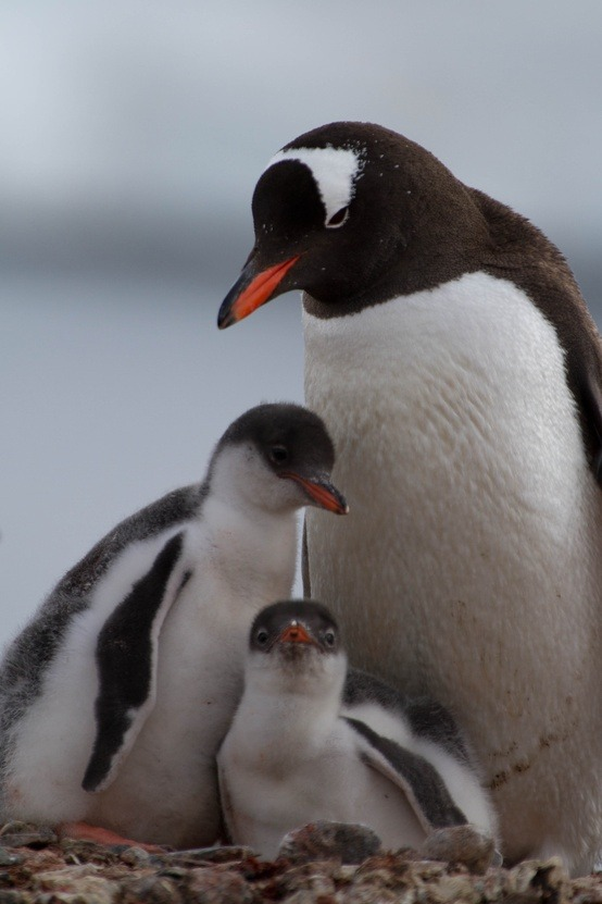 fairy-wren:  gentoo penguins (photo by halex)