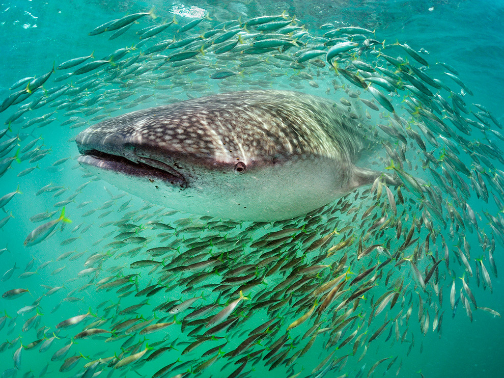 Whale Shark, Yucatán Peninsula Photograph by Brian Skerry, National Geographic A whale shark, biggest of fishes, hangs out with small fry off the northern tip of the Yucatán Peninsula.