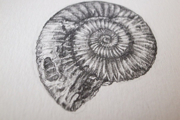drawingdetail:  Ammonite by dbhe