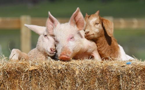 theanimalblog:  Lizzie the lamb, Portia the piglet and Boots the goat snuggle up at Edgar's Mission Farm Sanctuary near Kilmore, Victoria, Australia. Each was found abandoned and alone - Lizzie was just hours old when she was rescued from the side of a busy road. But the three are now thriving at Edgar's Mission Farm Sanctuary in Kilmore, Australia. Picture: Robert Leeson/Newspix / Rex Features