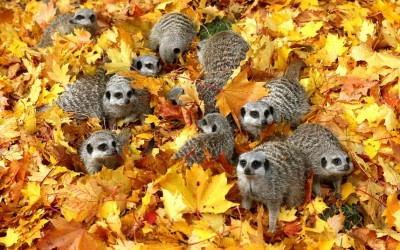 Meerkats play in autumn leaves at Blair Drummond Safari Park near Stirling, Scotland.  Picture: Andrew Milligan/PA