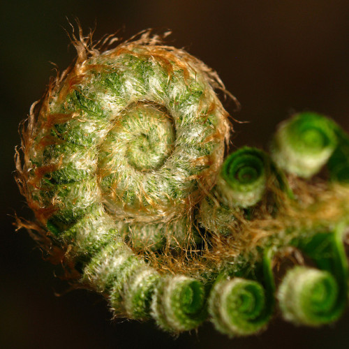 missatombomb:  Fuzzy Fern Macro at the coil… by Dialed-in! on Flickr.