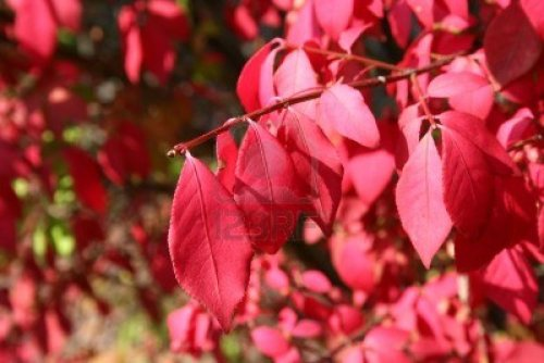 Vibrant Red Autumn  Leaves