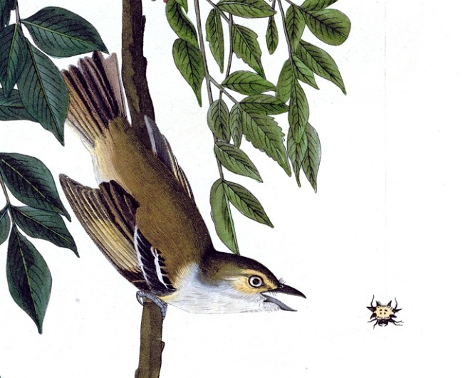 thebirdsofamerica:  Detail of Plate 63 of The Birds of America by John Audubon, the White-eyed Flycatcher or Vireo.   Just lifered this one in my yard last month and wrote an obtuse poem thing about it on the other, other blog.