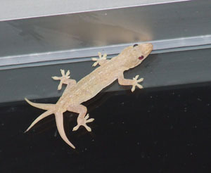 rustprophecies:  A gecko will drop it's tail when it is threatened or grabbed by the tail (never hold a gecko by it's tail), it does this as a defense mechanism. When it first drops the tail it will wriggle around on the floor, this is hoped to distract the enemy while the gecko makes their escape. This is labeled as autonomy and is used as a defense mechanism by many species of gecko. The connective tissue around the tail is specially designed to allow the tail to break off easily. Sometimes the tail does not break off fully and either heals or in some cases it heals and a new tail will also start to grow thus leaving the gecko with 2 tails, there are reports of geckos being sighted with 3 tails still attached.