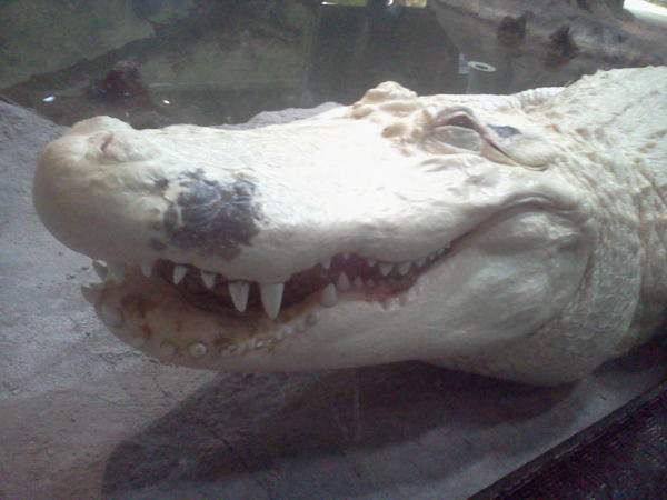 "postconsumerperson:  Today at the zoo I saw a white alligator and I snapped a picture of him while he was doing his best ""person at a Phish concert"" impression"