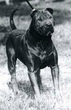 This is Down-Homes Kung Fu from 1978, one of the first Shar Peis brought to America. It is mindboggling how Americans managed to fuck up this breed so thoroughly, when the genetic material they started with was as excellent as this handsome dog.