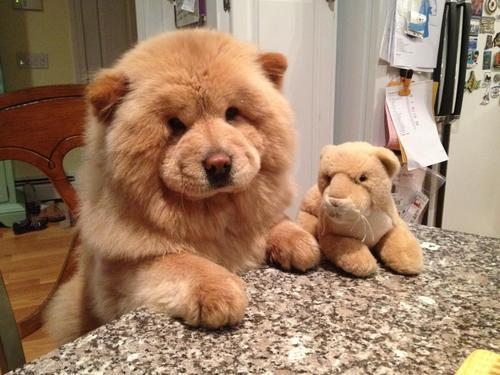 animalswithstuffedanimals:  Cutest Chow Chow! via reddit   Liz would love this.