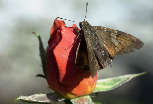 Skipper on rosebud on Flickr.