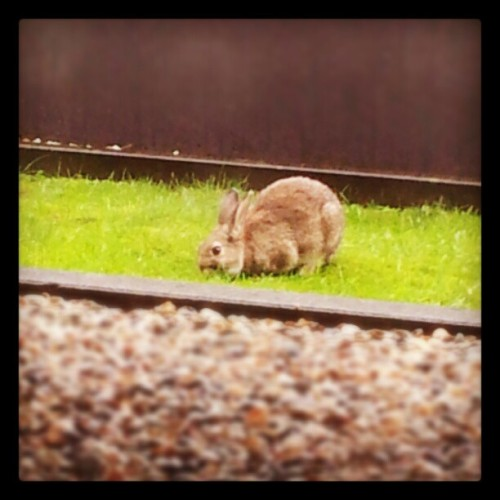 Wild rabbit! Come here! :3 (Taken with Instagram)
