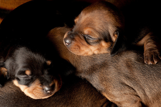 Dachshund Puppies by Steven Green Photography on Flickr.
