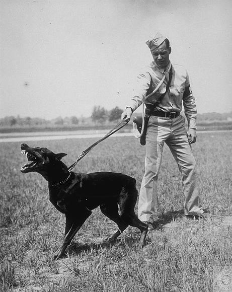 1944 Doberman war dog training