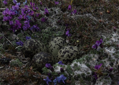 climateadaptation:  Arctic sea-bird eggs. Gorgeous. Via Manomet