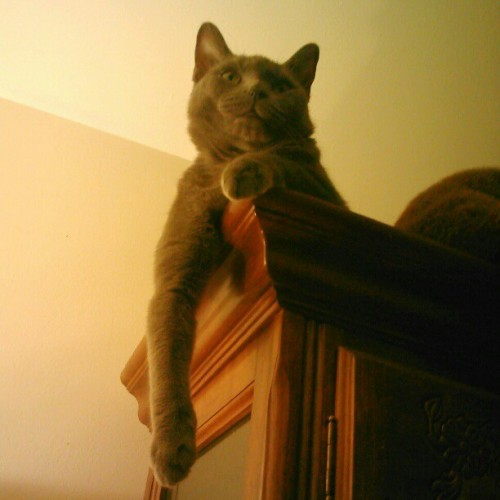 #SirIan #cat, the #gargoyle atop the #china cabinet. #catsofinstagram #cats #pet #pets #instagramhub #instahub #webstagram #srslycute #cute (Taken with Instagram)