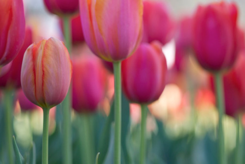 tulip fever (by *sapa*)