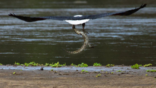 Incredible shot of an eagle snatching a croc along riverbank in Tanzania. Captured by safari guide Mark Sheridan-Johnson. Via.