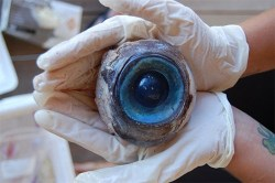 thedailywhat:  Mysterious Eyeball From The Sea of the Day: This ginormous peeper washed ashore in Florida this week. The poor sea creature now missing an eye? No one knows. [brooklynmutt]