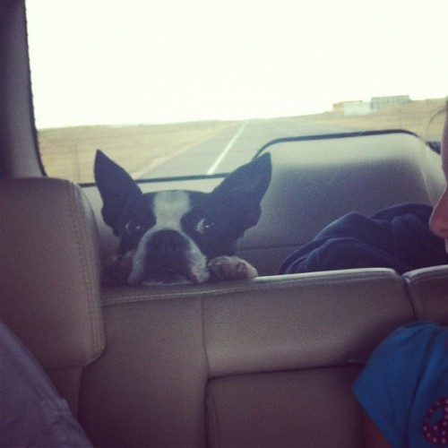 Backseat driver. #jax #dogstagram #dog #bostonterrier  (Taken with Instagram)
