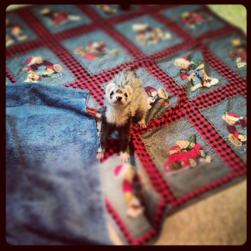 Mickey, you so cute. #ferret #shelter #rescue  (Taken with Instagram)