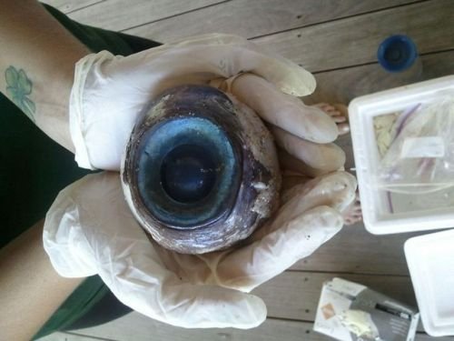"""it's so big."" - she Mysterious Huge Eyeball Likely Giant Squid's  The eyes of giant and colossal deep-sea squid are 27 cm (10.6 inches) in diameter. Modeling suggests that the huge eyes are uniquely suited for spotting sperm whales,"" said the research team. Squid can regenerate body parts, and many marine animals can regenerate their eyes, so I can only hope that the one who lost this eye is still in the water of the living and will soon have a new eye.  look at it…"