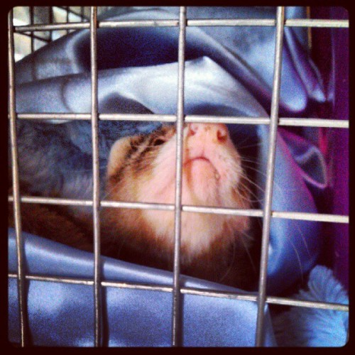 Sleepy Savannah. #ferret #shelter #rescue  (Taken with Instagram)