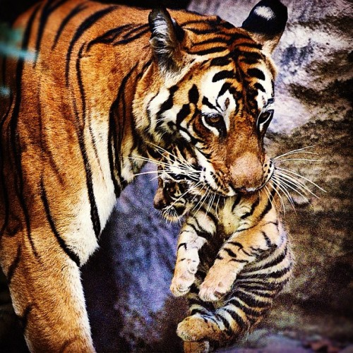 #mothercare #care #mother #love #nature #cuidado #amor #mãe #filhote #tiger #puppy #tigre (Publicado com Instagram, no Valparaíso de Goiás)