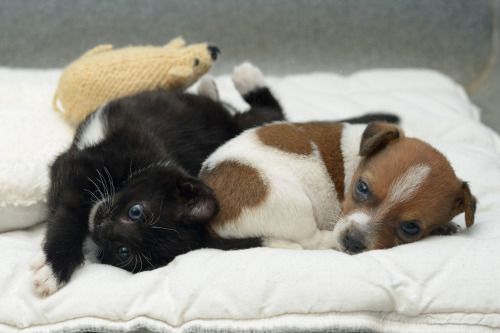herekittykittykitty:  A Rejected Puppy And An Abandoned Kitten Adopt EachOther.Buttons the puppy was the runt of the litter and was rejected by her mother, but atBattersea Cats and Dogs Home, he found someone who loves him unconditionally: Kitty the kitten.The two were placed together as infants and are now inseparable.