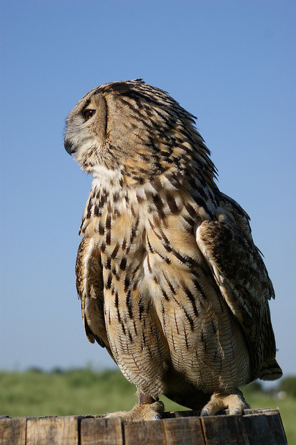 thepredatorblog:  Eurasian eagle owl (by Ronald Swinkels)