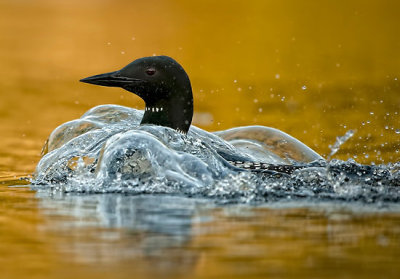 "ensphere:  ""Bubbling Loon"" by Bill Maynard 