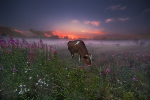 harvestheart:  Cow grazes the meadow at first light