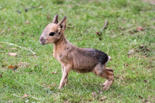 cylonfire:  llbwwb:  Baby Mara,Pampashase - Dolichotis - Mara (by StefanKoeder)  OMG  literally flailing right now like how am i even typing this a;lgkjsdgldjflsdj