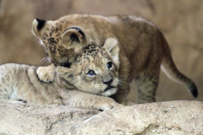 llbwwb:  Lion babys Abaja and Damien (by StefanKoeder)