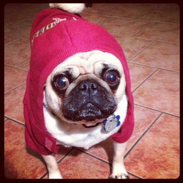 staceyng:  In tha hood ✌#pug #puglife #sofluffyimgonnadie (Taken with Instagram)