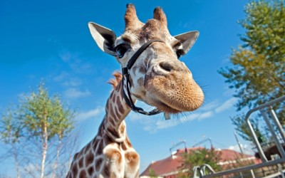 theanimalblog:  A giraffe looks at the camera at Circus Berolina in Berlin. Picture: ROBERT SCHLESINGER/AFP/GettyImages