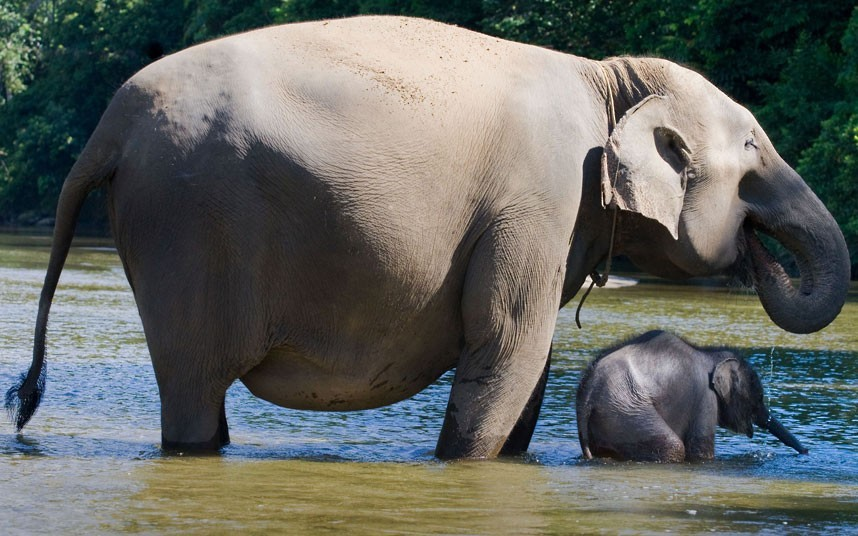 theanimalblog:  A Sumatran elephant and calf bathe in the river at the Conservation Response Unit wildlife reservation area in Aceh Jaya district located in Indonesia's Sumatra island.  Picture: CHAIDEER MAHYUDDIN/AFP/GettyImages