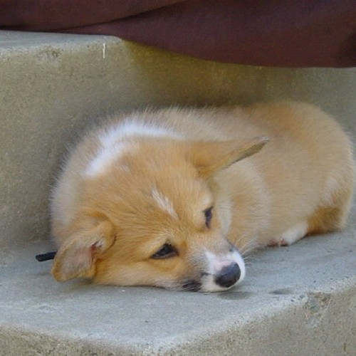 andcorgimakesthree:  What a fluff ball #cute #corgi #love #petstagram #dog #corgistagram #igers #photooftheday (Taken with Instagram)