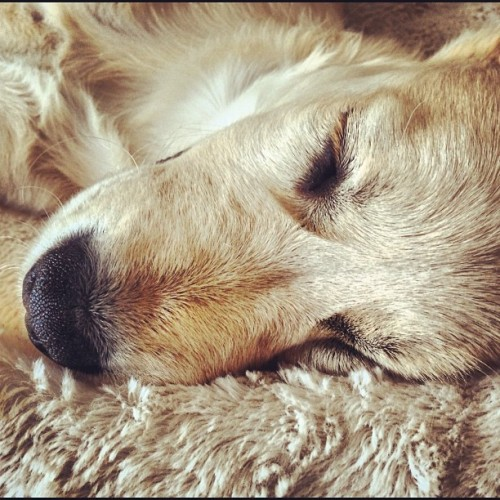 Josie sleeping #goldenretriever #dog #pet #golden #fur #hair #sleep #iphone #iphone5 #iphonography #photo #photos #photography #animals (Taken with Instagram at Widcombe Hill)