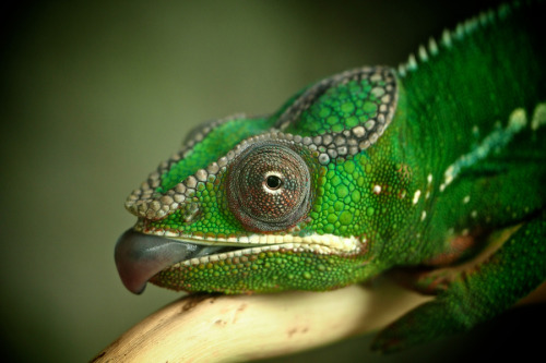 samaralex:  Panther Chameleon by John Purchase