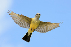animals-animals-animals:  Western Kingbird (by TexasEagle)